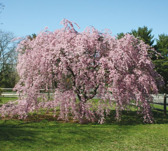 Spreading Beauty Plant A Weeping Cherry Tree This Spring Central Virginia Home Magazine