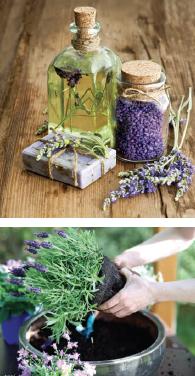 lavendar-1
