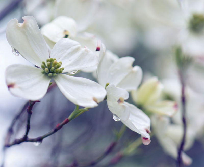 Garden_Dogwood_CV-S2018-1