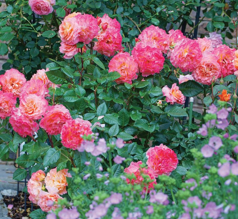 Garden_english_CV-S2018-1
