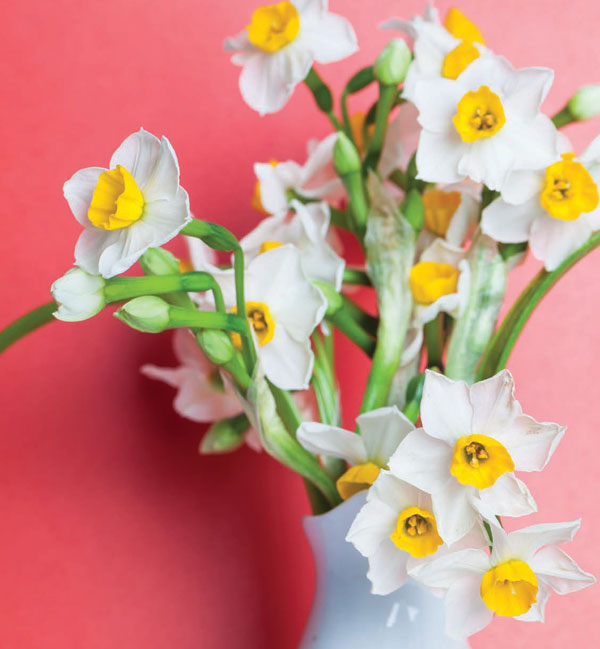 Garden_Daffodil1