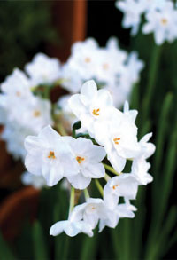 Garden_Daffodil2