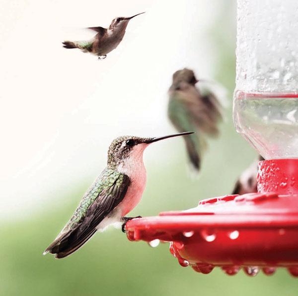 GARDEN_Hummingbirds1