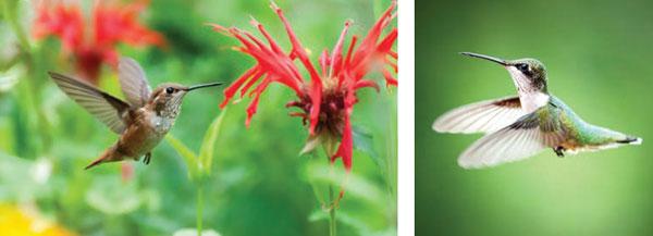 GARDEN_Hummingbirds5