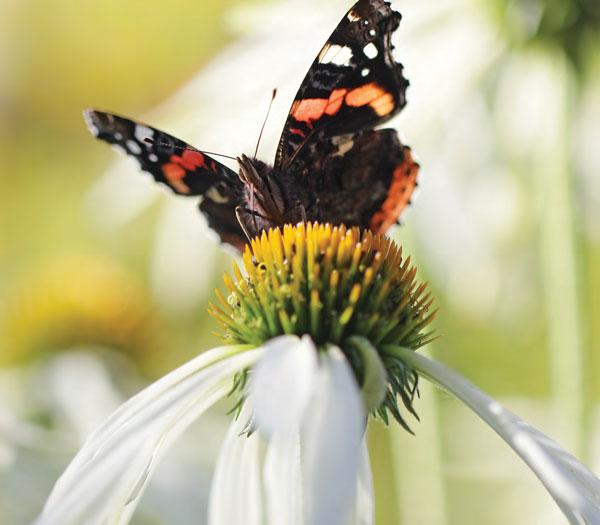 Garden_Butterflies1