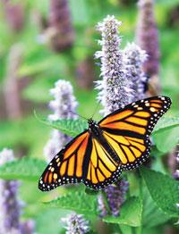 Garden_Butterflies3