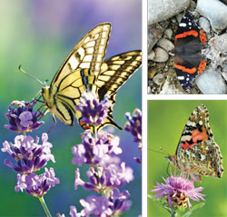 Garden_Butterflies5