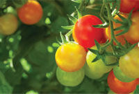 Garden_Tomatoes5c